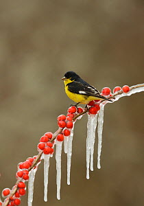 Lesser goldfinch (Carduelis psaltria), adult male perched on icy branch of Possum Haw Holly (Ilex decidua) with berries, Hill Country, Texas, USA. February  -  Rolf Nussbaumer