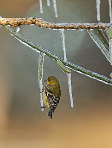 Lesser Goldfinch (Carduelis psaltria), adult female perched on icy branch of Christmas cholla (Cylindropuntia leptocaulis), Hill Country, Texas, USA.. January  -  Rolf Nussbaumer