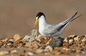 Least tern (Sterna antillarum), adult with newly hatched young, Port Isabel, Laguna Madre, South Padre Island, Texas, USA. June - Rolf Nussbaumer