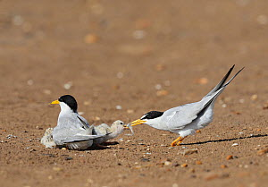 Least tern (Sterna antillarum), adult feeding newly hatched young with fish prey, Port Isabel, Laguna Madre, South Padre Island, Texas, USA. June - Rolf Nussbaumer