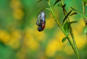 Monarch (Danaus plexippus), butterfly emerging from chrysalis on Tropical milkweed (Asclepias curassavica), series, Hill Country, Texas, USA Sequence 7 of 18. October - Rolf Nussbaumer