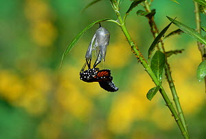 Monarch (Danaus plexippus), butterfly emerging from chrysalis on Tropical milkweed (Asclepias curassavica), series, Hill Country, Texas, USA Sequence 10 of 18. October - Rolf Nussbaumer