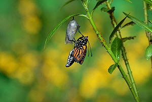 Monarch (Danaus plexippus), butterfly emerging from chrysalis on Tropical milkweed (Asclepias curassavica) wings unfolding, series, Hill Country, Texas, USA Sequence 13 of 18. October - Rolf Nussbaumer