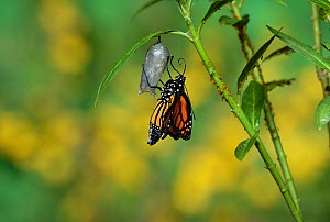 Monarch (Danaus plexippus), butterfly emerging from chrysalis on Tropical milkweed (Asclepias curassavica) wings unfolding, series, Hill Country, Texas, USA Sequence 14 of 18. October - Rolf Nussbaumer