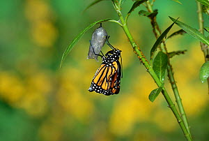 Monarch (Danaus plexippus), butterfly emerging from chrysalis on Tropical milkweed (Asclepias curassavica) wings unfolding, series, Hill Country, Texas, USA Sequence 15 of 18. October - Rolf Nussbaumer