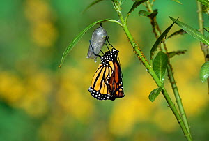 Monarch (Danaus plexippus), butterfly emerging from chrysalis on Tropical milkweed (Asclepias curassavica) wings unfolding, series, Hill Country, Texas, USA Sequence 16 of 18. October - Rolf Nussbaumer