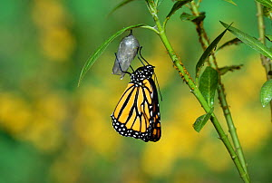 Monarch (Danaus plexippus), butterfly emerging from chrysalis on Tropical milkweed (Asclepias curassavica) wings unfolding, series, Hill Country, Texas, USA Sequence 17 of 18. October - Rolf Nussbaumer