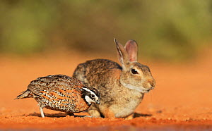 Northern bobwhite (Colinus virginianus), male feeding next to Eastern cottontail rabbit (Sylvilagus floridanus), Rio Grande Valley, South Texas, Texas, USA. June  -  Rolf Nussbaumer