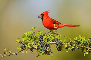 Northern Cardinal (Cardinalis cardinalis), male eating Elbow bush (Forestiera pubescens) berries, Rio Grande Valley, South Texas, Texas, USA. May  -  Rolf Nussbaumer