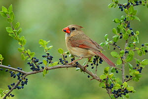 Northern Cardinal (Cardinalis cardinalis), adult female eating Elbow bush (Forestiera pubescens) berries, Hill Country, Texas, USA. May  -  Rolf Nussbaumer