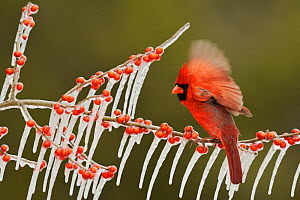 Northern Cardinal (Cardinalis cardinalis), adult male perched on icy branch of Possum Haw Holly (Ilex decidua) with berries, Hill Country, Texas, USA. February  -  Rolf Nussbaumer