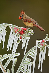Northern Cardinal (Cardinalis cardinalis), adult male perched on icy branch of Christmas cholla (Cylindropuntia leptocaulis), Hill Country, Texas, USA. February - Rolf Nussbaumer