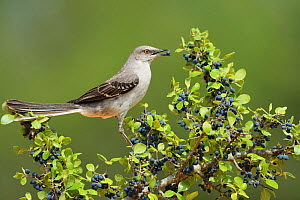 Northern Mockingbird (Mimus polyglottos), adult eating Elbow bush (Forestiera pubescens) berries, Rio Grande Valley, South Texas, Texas, USA. May  -  Rolf Nussbaumer