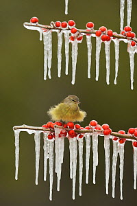 Orange-crowned Warbler (Vermivora celata), adult fluffed up perched on icy branch of Possum Haw Holly (Ilex decidua) with berries, Hill Country, Texas, USA. February - Rolf Nussbaumer