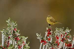 Orange-crowned Warbler (Vermivora celata), adult perched on icy branch of Yaupon Holly (Ilex vomitoria) with berries, Hill Country, Texas, USA. February  -  Rolf Nussbaumer