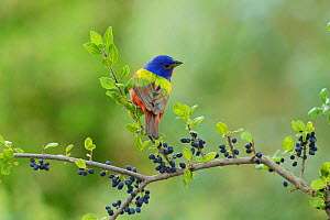 Painted Bunting (Passerina ciris), adult male perched on Elbow bush (Forestiera pubescens) with berries, Hill Country, Texas, USA. May  -  Rolf Nussbaumer