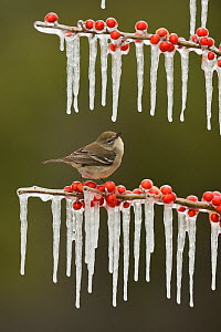 Pine Warbler (Dendroica pinus), immature female perched on icy branch of Possum Haw Holly (Ilex decidua) with berries, Hill Country, Texas, USA. February - Rolf Nussbaumer