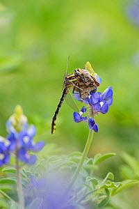 Plains Clubtail (Gomphus externus), adult perched on Texas Bluebonnet (Lupinus texensis) with butterfly prey, Texas, USA. April - Rolf Nussbaumer