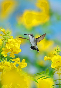 Ruby-throated hummingbird (Archilochus colubris), female in flight feeding on Yellow bells (Tecoma stans) flower, Hill Country, Texas, USA. September  -  Rolf Nussbaumer
