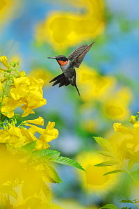 Ruby-throated hummingbird (Archilochus colubris), male in flight feeding on Yellow bells (Tecoma stans) flower, Hill Country, Texas, USA. September  -  Rolf Nussbaumer