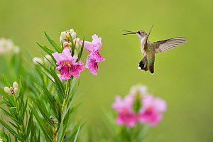 Ruby-throated hummingbird (Archilochus colubris), female in flight feeding on blooming Desert willow (Chilopsis linearis), Hill Country, Texas, USA. August - Rolf Nussbaumer