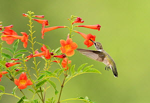Ruby-throated hummingbird (Archilochus colubris), female in flight feeding on Yellow bells (Tecoma stans) flower, Hill Country, Texas, USA. August  -  Rolf Nussbaumer