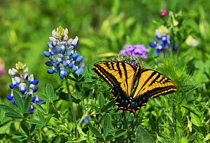 Two-Tailed swallowtail butterfly (Papilio multicaudata), adult perched on Texas Bluebonnet (Lupinus texensis), Texas, USA. April  -  Rolf Nussbaumer