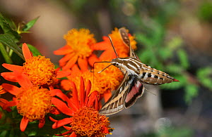 White-lined sphinx (Hyles lineata), adult in flight feeding on Mexican flame vine (Senecio confusus) flower, Hill Country, Texas, USA. March  -  Rolf Nussbaumer
