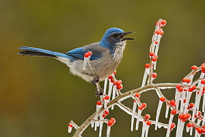 Western Scrub-Jay (Aphelocoma californica), adult calling on icy branch of Possum Haw Holly (Ilex decidua) with berries, Hill Country, Texas, USA. February  -  Rolf Nussbaumer