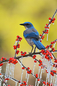 Western Scrub-Jay (Aphelocoma californica), adult perched on icy branch of Possum Haw Holly (Ilex decidua) with berries, Hill Country, Texas, USA. January  -  Rolf Nussbaumer