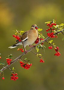 White-winged Dove (Zenaida asiatica), adult eating Firethorn (Pyracantha coccinea)  berries, Hill Country, Texas, USA. February  -  Rolf Nussbaumer