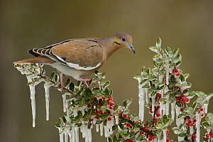 White-winged Dove (Zenaida asiatica), adult perched on icy branch of Yaupon Holly (Ilex vomitoria), Hill Country, Texas, USA. February  -  Rolf Nussbaumer