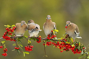 White-winged Dove (Zenaida asiatica), adults eating Firethorn (Pyracantha coccinea)  berries, Hill Country, Texas, USA. February  -  Rolf Nussbaumer