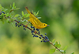 Yellow Warbler (Dendroica petechia), adult male perched on Elbow bush (Forestiera pubescens) with berries, Hill Country, Texas, USA. May  -  Rolf Nussbaumer