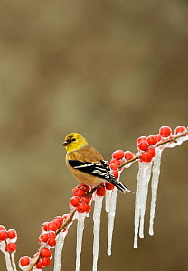 American goldfinch (Carduelis tristis), adult in winter plumage perched on icy branch of Possum Haw Holly (Ilex decidua), Hill Country, Texas, USA, February.. February  -  Rolf Nussbaumer