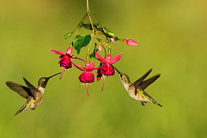 Black-chinned hummingbird (Archilochus alexandri), adult male and female feeding on blooming Fuchsia, Hill Country, Texas, USA. April - Rolf Nussbaumer