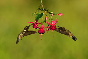 Black-chinned hummingbird (Archilochus alexandri), adult males feeding on blooming Fuchsia, Hill Country, Texas, USA. April - Rolf Nussbaumer