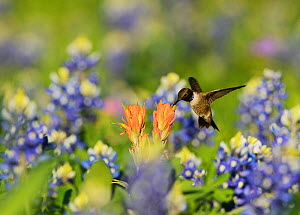 Black-chinned hummingbird (Archilochus alexandri), adult male feeding on blooming Prairie Paintbrush (Castilleja purpurea var. lindheimeri) among Texas Bluebonnet (Lupinus texensis), Hill Country, Tex... - Rolf Nussbaumer