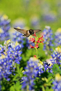 Black-chinned hummingbird (Archilochus alexandri), adult male feeding on blooming Scarlet betony (Stachys coccinea) among Texas Bluebonnet (Lupinus texensis), Hill Country, Texas, USA. April - Rolf Nussbaumer