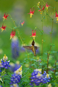 Black-chinned hummingbird (Archilochus alexandri), adult male feeding on Red Columbine (Aquilegia canadensis) flowers growing with  Texas Bluebonnet (Lupinus texensis), Hill Country, Texas, USA. April - Rolf Nussbaumer