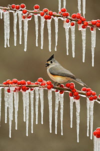 Black-crested titmouse (Baeolophus bicolor), adult perched on icy branch of Possum Haw Holly (Ilex decidua) with berries, Hill Country, Texas, USA. February  -  Rolf Nussbaumer