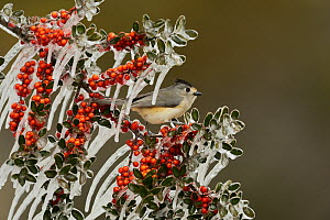 Black-crested titmouse (Baeolophus bicolor), adult perched on icy branch of Yaupon Holly (Ilex vomitoria) with berries, Hill Country, Texas, USA. February  -  Rolf Nussbaumer