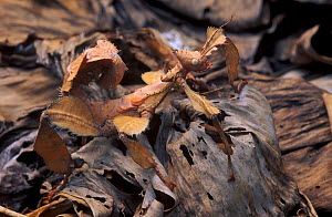Maclay's stick insect (Extatosoma tiaratum) camouflaged in dead leaves. Captive.  -  Juan  Carlos Munoz
