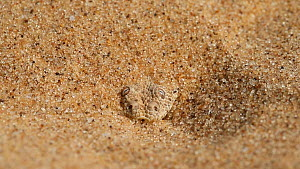 Peringuey's adder (Bitis peringueyi) buried in sand,  flicking tongue, hunting, Namib Desert, Namibia. - Christophe Courteau