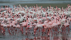 Greater flamingoes (Phoenicopterus ruber) and Lesser flamingoes (Phoeniconaias minor), Walvis Bay, Namibia. - Christophe Courteau