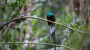 Male Resplendent quetzal (Pharomachrus mocinno) taking off, Central Highlands, Costa Rica.  -  Christophe Courteau