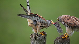 Male Common kestrel (Falco tinnunculus) feeding juvenile, France, May. - Christophe Courteau