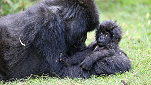 Female Mountain gorilla (Gorilla beringei beringei) playing with baby, Volcanoes National Park, Rwanda.  -  Christophe Courteau