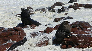Cape fur seal (Arctocephalus pusillus), Cape Cross, Skeleton Coast, Namibia.  -  Christophe Courteau
