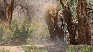 African elephant (Loxodonta africana) dust bathing in the dry Hoanib River, Damaraland, Namibia.  -  Christophe Courteau